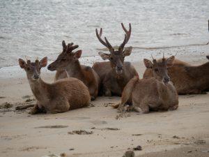 ...Beach Deers | Komodo